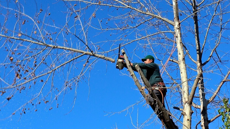 Person pruning tree branches.